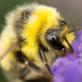 Male white-tailed bumblebee